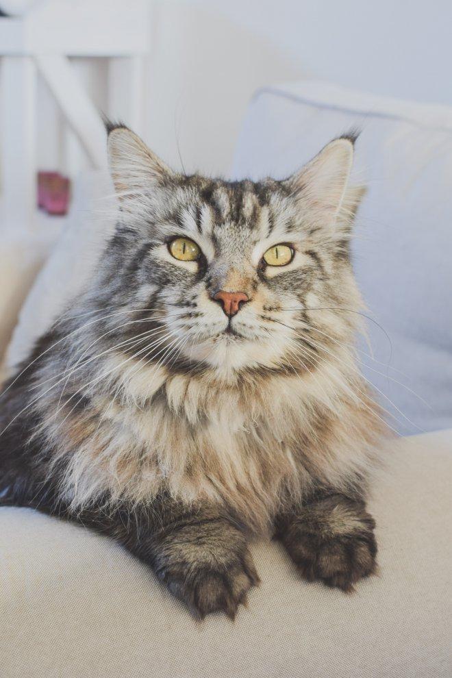 Naozaj veľká mačička pery