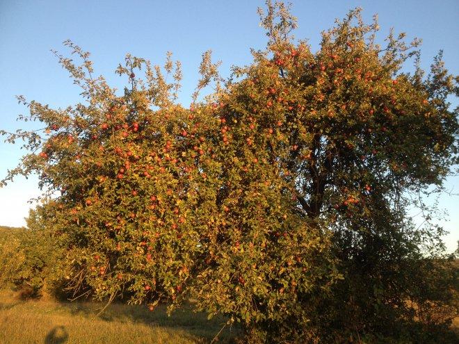 NAJkrajšia jabloň v mojej záhrade