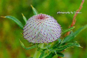 Fotografie - Autorská fotografia: Pichľavý klobúčik - 7019216_