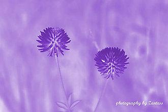 Fotografie - Autorská fotografia: Ďatelinka vo fialových tónoch - 7026662_