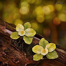 Náušnice - Orchidea Green - náušnice s kvetom - 7150703_