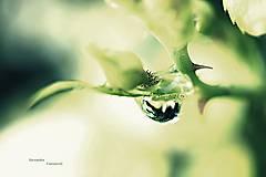Fotografie - Ruža princezna - 7266841_