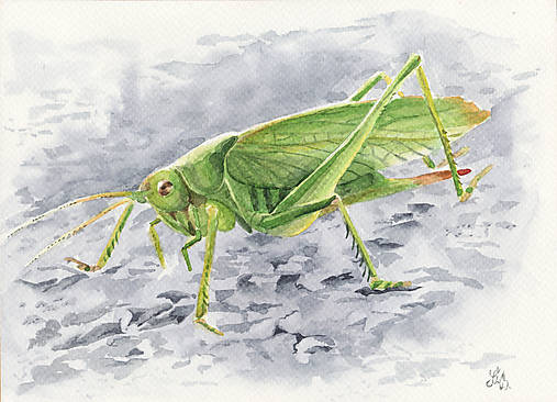 Kobylka - akvarel