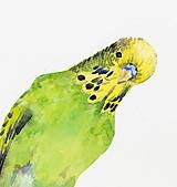Andulka - akvarel
