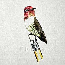 Kresby - Kolibrík na ceruzke - farebný - 7532363_