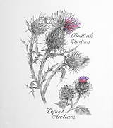 - Bodliak - Carduus a Lopúch - Arctium, kresba ceruzkou - 7846602_