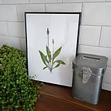 Kresby - Bylinkové obrázky - skorocel kopijovitý - 7866001_