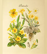 - Maľovaný obraz Primula, akvarel, ceruzka - 7882222_