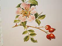- Obrázky z prírody, ruža šípová - 7886363_