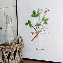 Kresby - Bylinkové obrázky - jahoda lesná - 7969082_