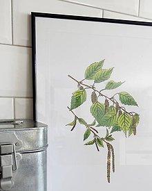 Kresby - Obrázky drevín - breza - 7974411_