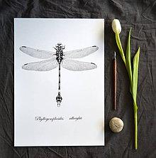 Kresby - Vážka - Phyllogomphoides albrighti (A4) - 8037274_