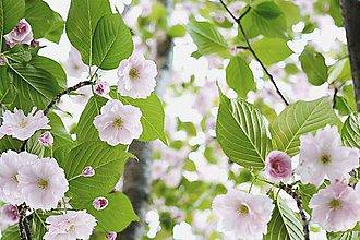 Fotografie - Sakura VIII - 8035713_