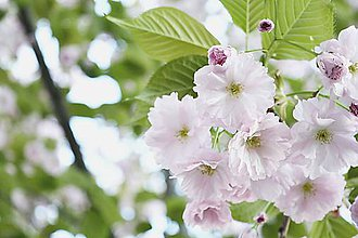 Fotografie - Sakura VII - 8035718_