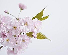 Fotografie - Sakura II - 8035773_