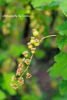 Fotografie - V-Fotografia: Nádhera kvetov ríbezlí - 8105956_