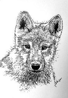 Kresby - malé vĺča ... :-) - 8147165_