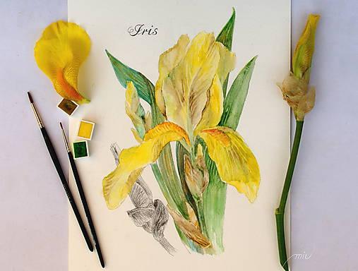 Maľovaný, zarámovaný obraz Kosatec - Iris, akvarel + ceruzka