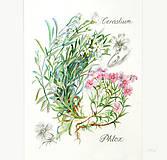 Obrazy - Maľovaný, zarámovaný obraz Flox a Rožec, akvarel a ceruzka - 8183829_