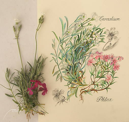 Maľovaný, zarámovaný obraz Flox a Rožec, akvarel a ceruzka
