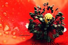 Fotografie - makový bozk - 8193843_