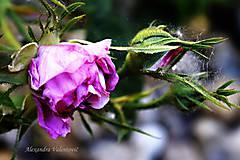 Fotografie - Lila natural - 8241408_