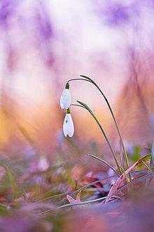 Fotografie - Snežienky - 8244180_