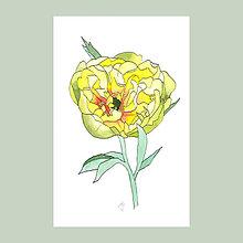 Obrazy - Žlutá pivoňka - originál, akvarel - 8257958_