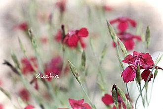 Fotografie - Turecké klinčeky - 8294826_