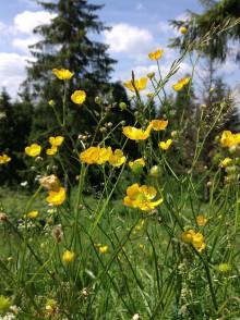 Fotografie - Žltá z horských lúk - 8311685_