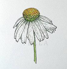Kresby - Echinacea - A4 - 8369243_