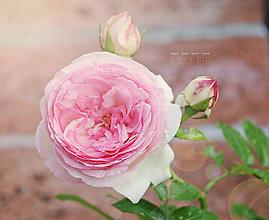 Fotografie - Eden rose - 8370395_