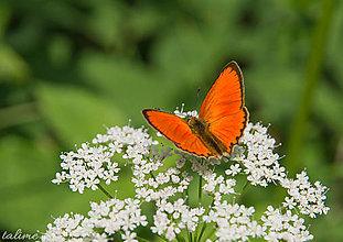Fotografie - Butterfly II. - 8396388_