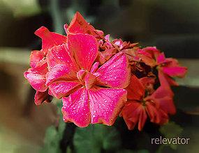 Fotografie - (ne) Malinové kvety - 8418835_