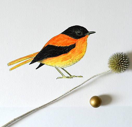 Muchárik čierno-oranžový