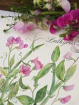 Obrazy - Hrachor - Lathyrus, tlač vo veľkosti A4 - 8536297_