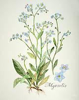 Obrazy - Nezábudka - Myosotis, tlač vo veľkosti A4 - 8536303_