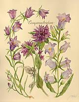 Obrazy - Botanický obrázok Zvončekovité - Campanuloideae, tlač vo veľkosti A4 - 8548295_