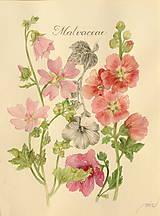 Obrazy - Botanický obrázok Slezovité - Malvaceae, tlač vo veľkosti A4 - 8548483_
