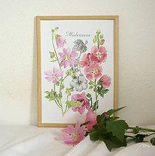 Obrazy - Botanický obrázok Slezovité - Malvaceae, tlač vo veľkosti A4 - 8548484_