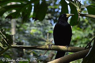 Fotografie - Trupiál džungľový 2 - 8557527_