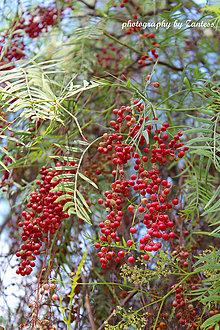 Fotografie - Autorská fotografia: Červené korenie - 8555668_