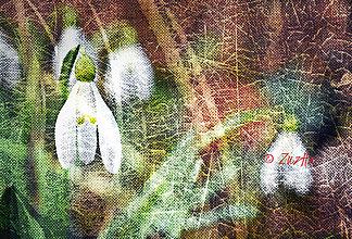 Obrazy - Snežienková - 8564596_