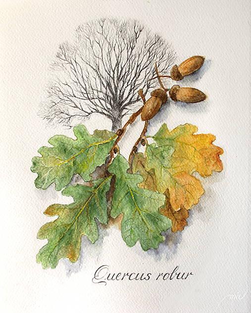 Obrazy - Akvarelový obraz Dub letný - Quercus robur - 8683529_