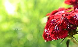 Fotografie - Dianthus barbatus - 8691592_