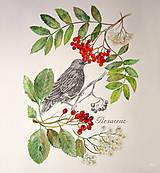 - Botanický obrázok Jarabiny vtáčej a Jarabiny mukyňovej (čeľaď Rosaceae), tlač vo veľkosti A4 - 8708796_