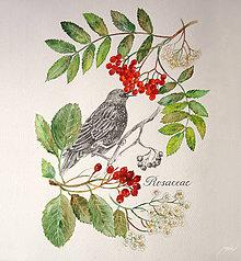 Obrazy - Botanický obrázok Jarabiny vtáčej a Jarabiny mukyňovej (čeľaď Rosaceae), tlač vo veľkosti A4 - 8708796_