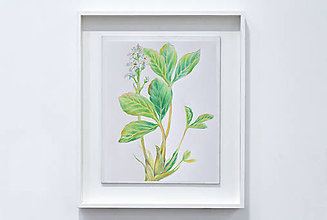 Kresby - Botanická kresba rastliny - Vachta trojlistá - 8925542_