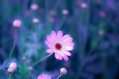 Fotografie - Snový kvet - 8987472_