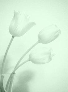 Fotografie - Tri tulipány - 9201284_